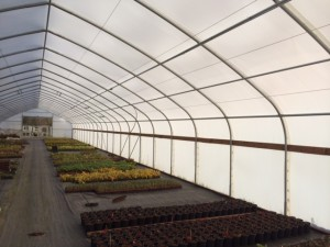 Inside a Solexx covered greenhouse at Northwoods Nursery